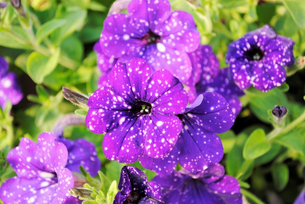 Purple Tunia