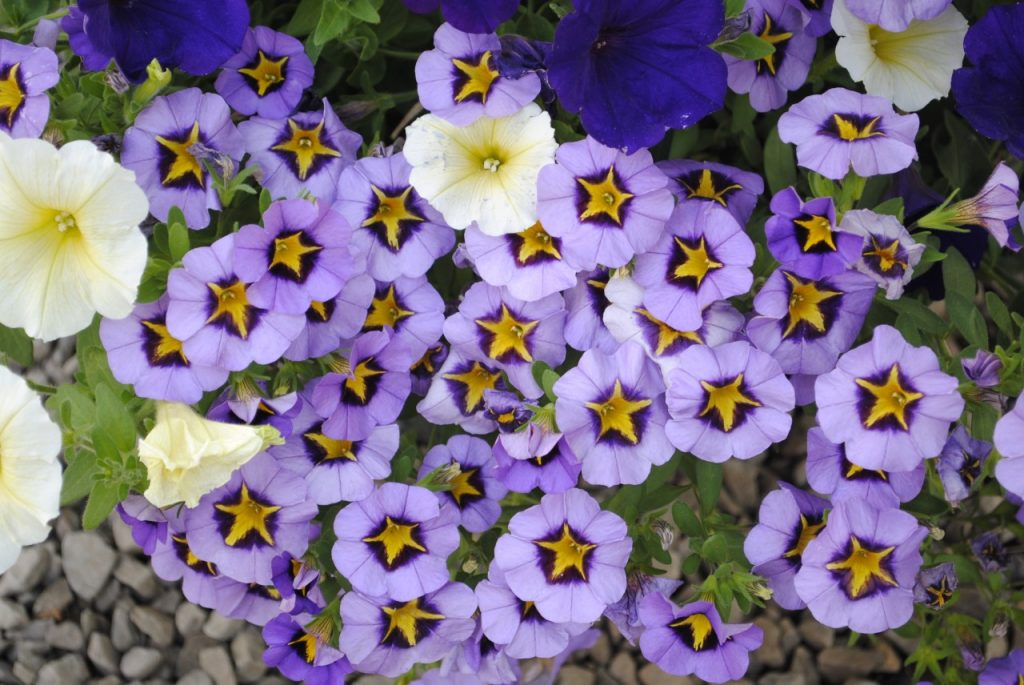 Purple Star Callibrocha