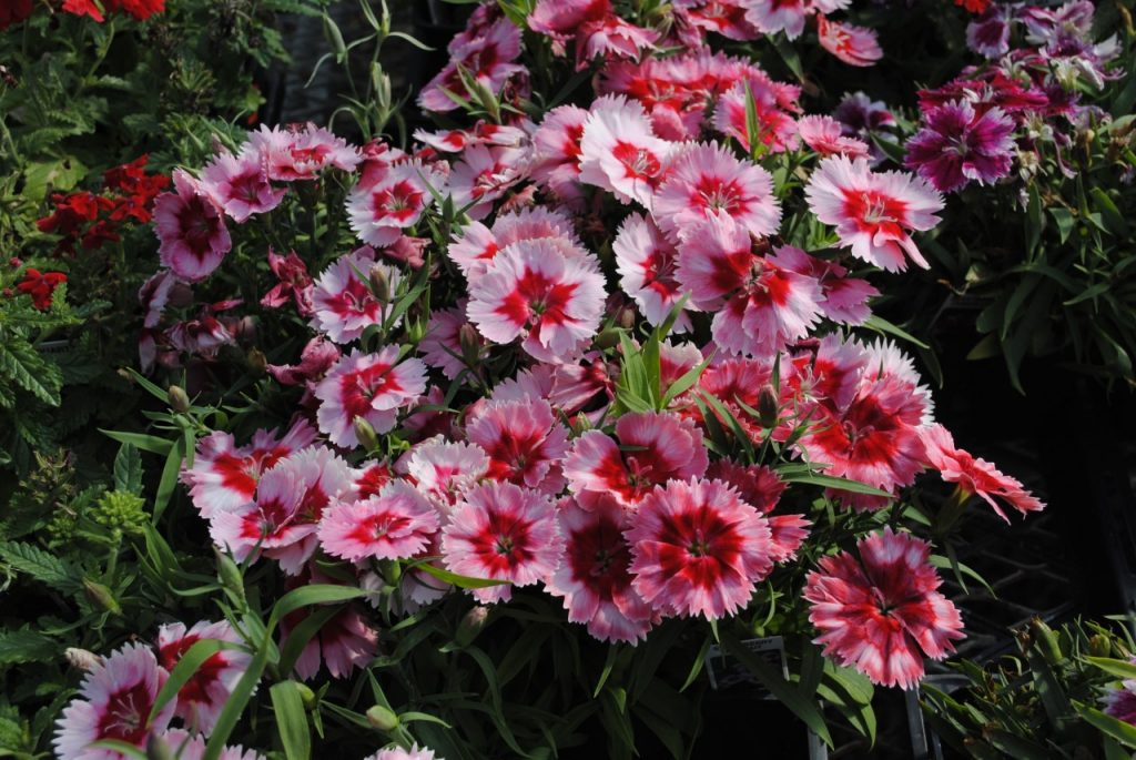 Strawberry and Cream Dianthus