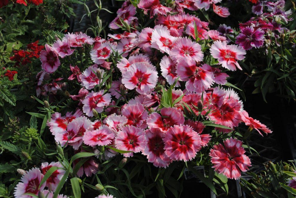 Strawberry and Cream Dianthus